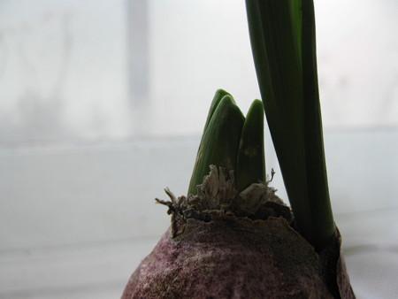 水栽培のヒヤシンス