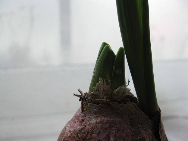 Photos: 水栽培のヒヤシンス