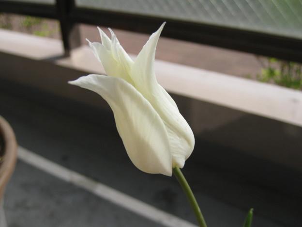 写真: レモン色から白へ チューリップ サッポロ
