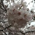 16.04.02.千鳥ヶ淵公園(千代田区麹町1・一番町)