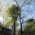 貴布禰総本宮 貴船神社(左京区)連理の杉