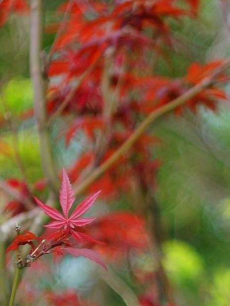2015 Autumn Maple Taiwan Helios 44-2