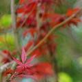 写真: 2015 Autumn Maple Taiwan Helios 44-2