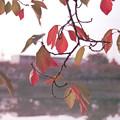 秋のサクラ