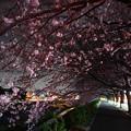 写真: ~桜トンネルを通り抜け~
