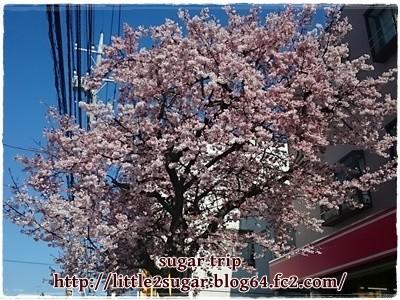 2016年の桜1