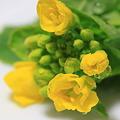 菜の花 on the dish