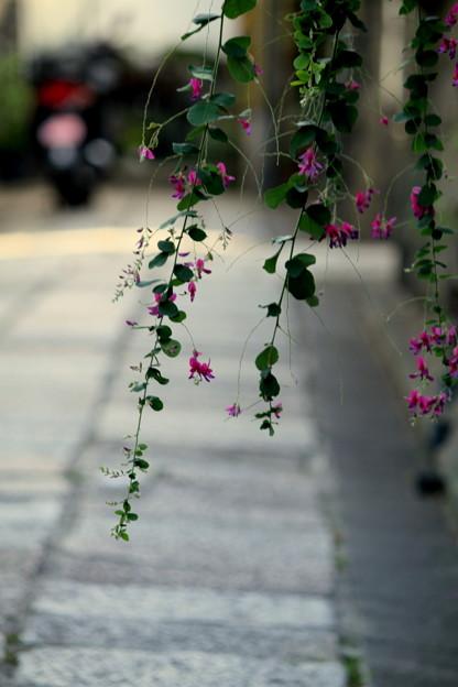 Photos: 萩の咲く路地