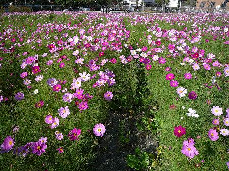 志賀島のコスモス(2)