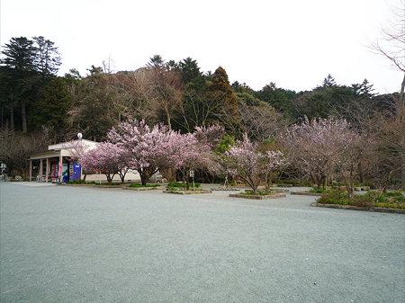 鎮国寺の緋寒桜と梅(1)