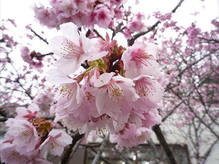 鎮国寺の緋寒桜と梅(2)