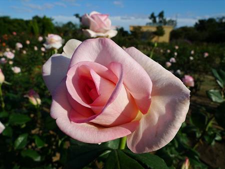 うみなか(3)バラ。フラミンゴ
