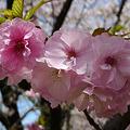 舞鶴公園の桜(4)ぼたん・しゃくやく園の松前桜