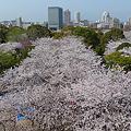 舞鶴公園の桜(16)'