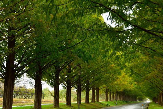 メタセコイア並木 1