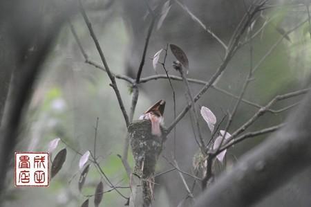 サンコウチョウ26