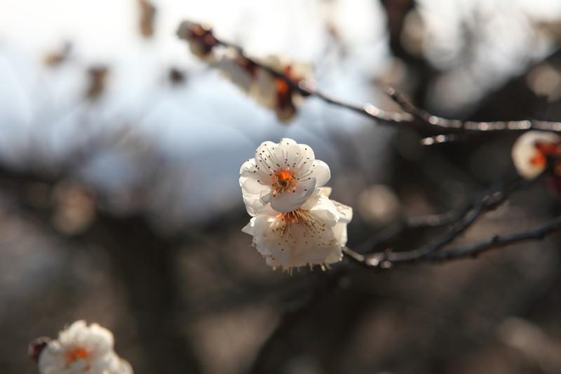 IMG_1222宝登山と蝋梅