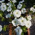 Photos: 140730-5 白いペチュニア