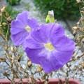 Photos: 140801-4 青いペチュニア