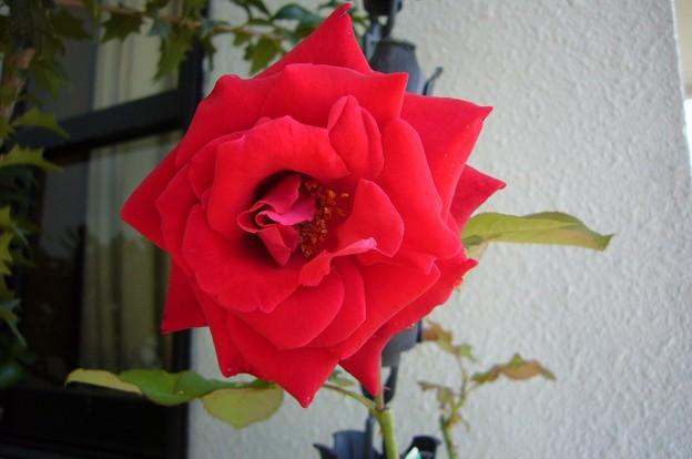 141007-2 深紅バラ