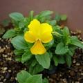 Photos: 141009-2 こぼれ種から咲いたビオラ