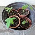 151106-4 鉢に植えたバラの挿し木