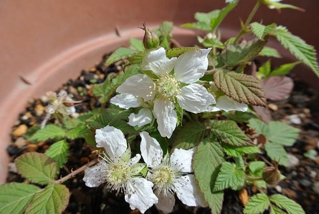 160408-1 ラズベリーの花