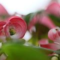 Photos: ハナミズキ pink