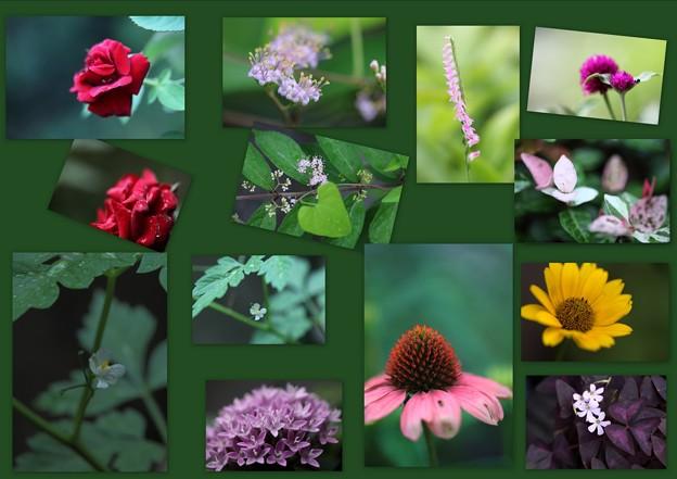 7月10日のわが家の花