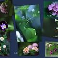 わが家の8月の花(1)