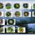 蔵出しの栂池自然園 高山植物とミズバショウ