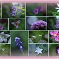 Photos: わが家の8月の花(4)-1