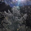 Photos: 日の出 樹氷(・・?)