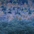 カラマツの紅葉と樹氷  上高地