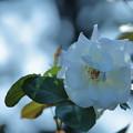 白バラ(2)