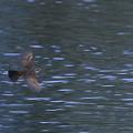 ツグミちゃんの飛翔
