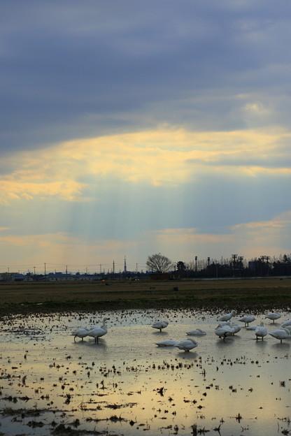 白鳥の楽園 2