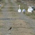 ツグミちゃんと白鳥の散歩