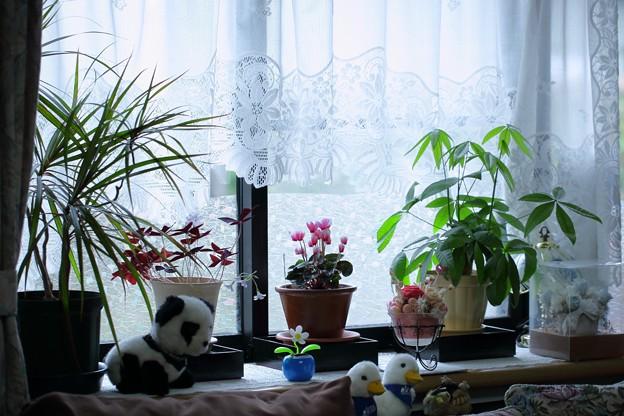 今日の窓辺の花