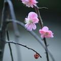 八重枝垂れ梅が少しだけ開花