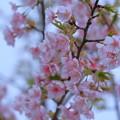 Photos: 満開の河津桜(1)