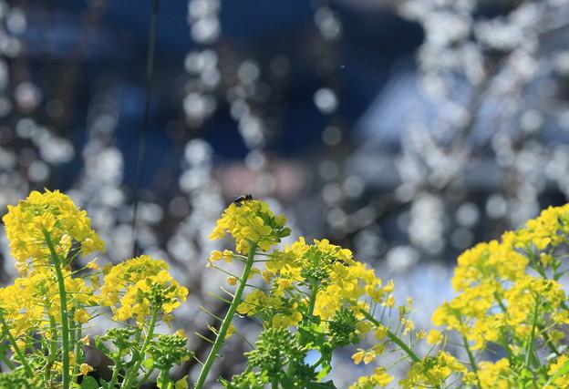 Photos: 菜の花とミツバチ