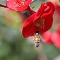 ミツバチ 木瓜(1)