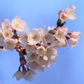 ソメイヨシノが開花(2)