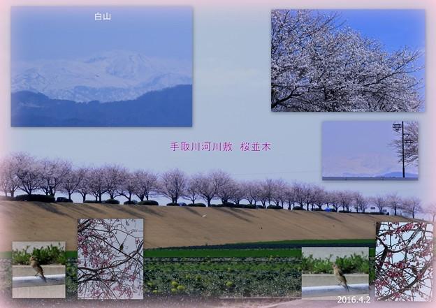 手取川の桜並木