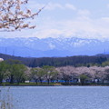 木場潟から  白山とソメイヨシノ並木