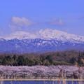 白山と桜3