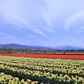 写真: チューリップ畑 桜並木と北アルプスの山並み