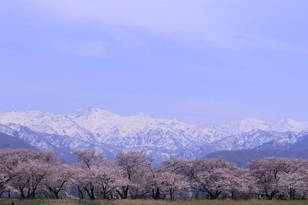 北アルプス(朝日岳、白馬岳、白馬白馬岳)と桜並木