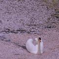 ピンクの花筏に乗って(2)
